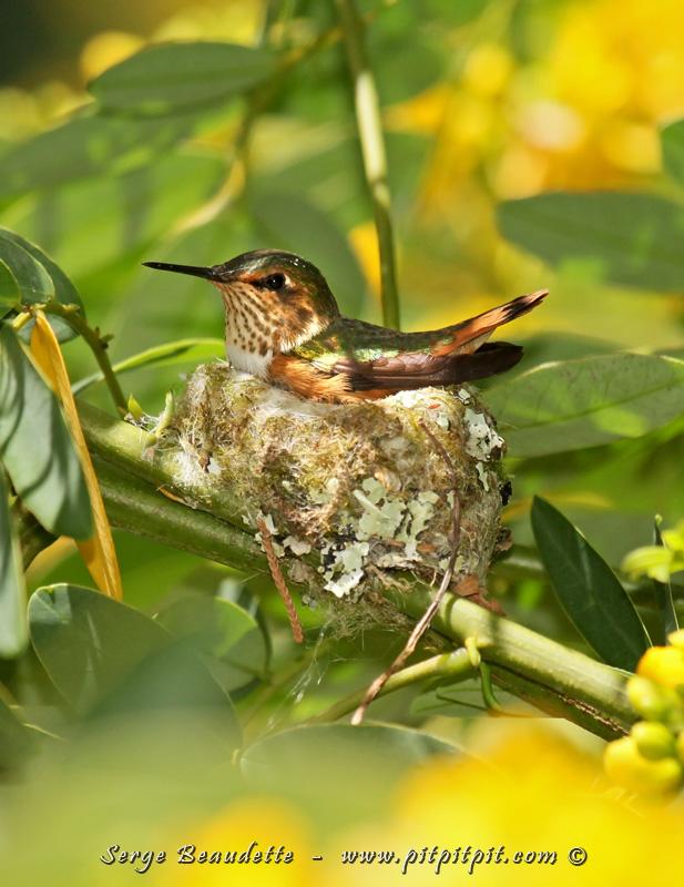 Colibri scintillant au nid