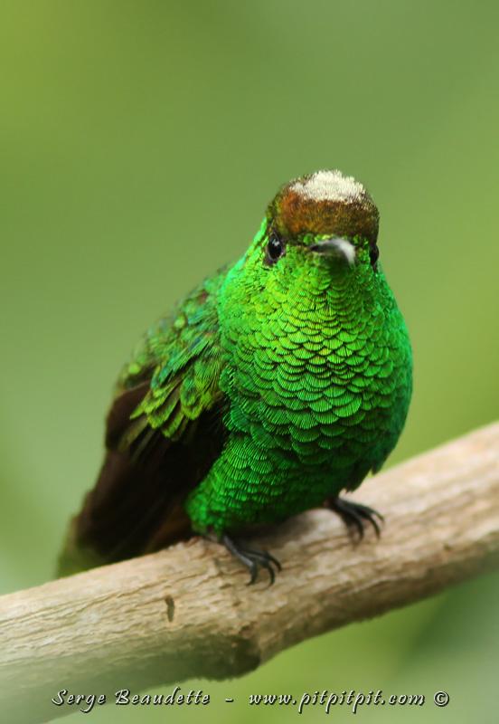 Le Colibri à tête cuivrée (endémique)