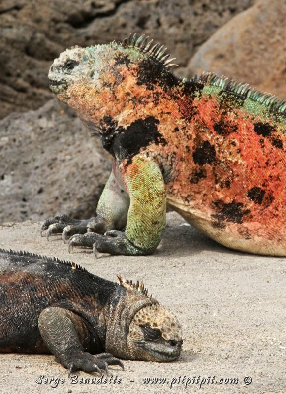 Iguane marin
