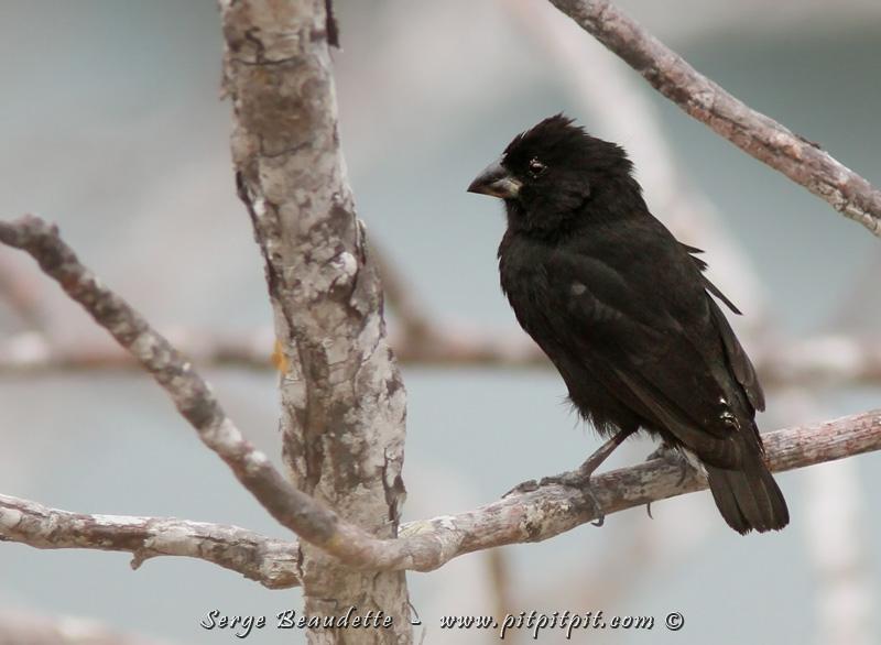 """Tout d'abord, il y a la catégorie des """"Ground-Finch"""" (ceux qui se tiennent la plupart du temps sur le sol!) Généralement, le mâle est noir alors que la femelle est grise lignée. Ici, le """"SMALL Ground-Finch"""", small faisant allusion à son bec... comparé aux autres espèces... C'est l'un des plus communs et répartis presque partout!"""