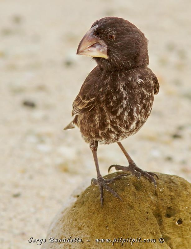 """Et le """"LARGE Ground-Finch""""... ai-je besoin d'expliquer son nom?! Beaucoup moins répandu celui-là, nous ne l'avons vu que sur Genovesa, la seule Île d'ailleurs où il était possible de le voir! Yé!"""