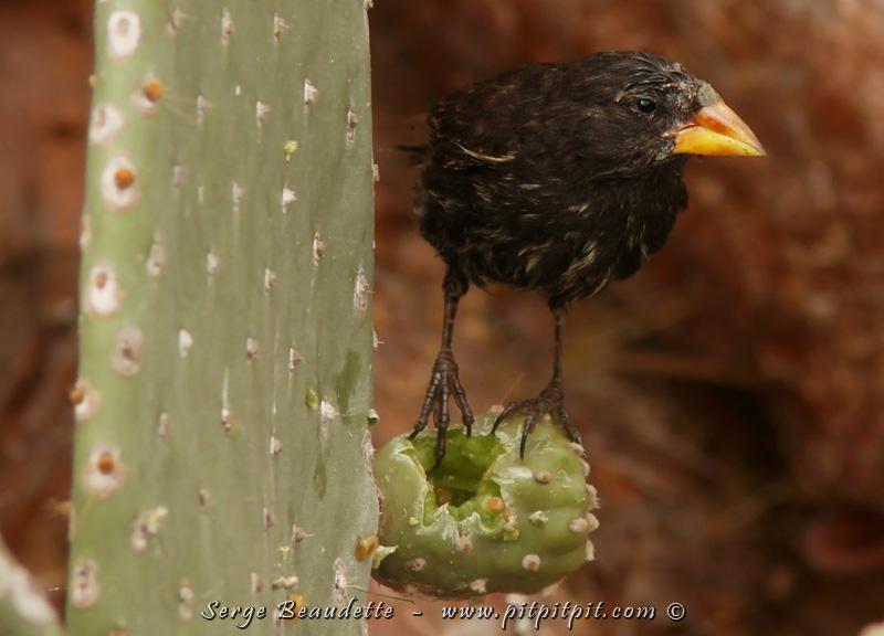 """Le 2e """"cactus-finch"""" et dernier de la catégorie des """"ground-finch"""", le """"LARGE Cactus-Finch""""... Beaucoup plus difficile à trouver celui-là! Visible seulement sur Genovesa (lui aussi!), et une sous-espèce vraiment spéciale, nous n'aurons vu QUE cet individu... mais une observation de grande qualité en revanche! Fiou...!"""