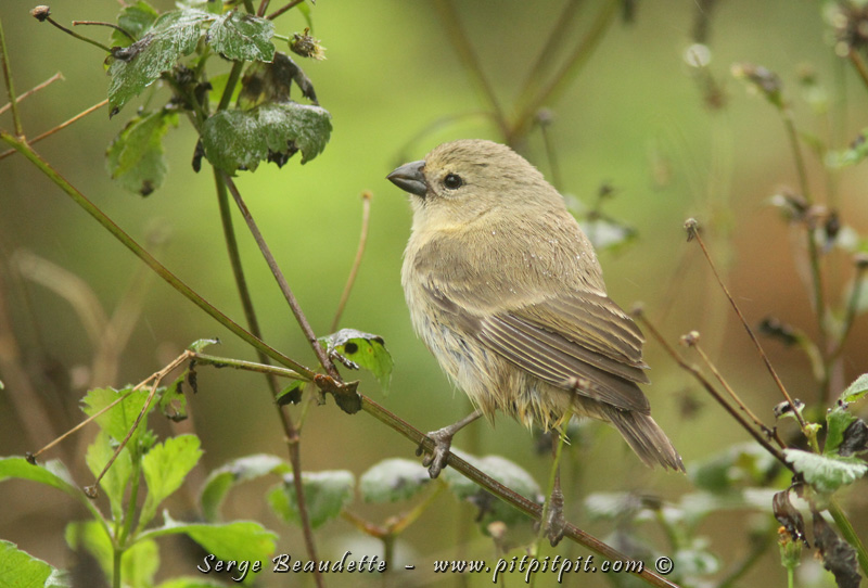 """La 2e grande catégorie est celle des """"TREE-Finch"""", ceux que l'on voit plus souvent dans les arbres! Le """"SMALL Tree-Finch"""" (ils ont de la suite dans les idées!) faisant allusion au petit bec vous vous en doutiez?! Chez les Tree-Finch, la femelle est toute pâle, plus unie que chez les Ground-Finch, et les mâles sont pâles avec la tête noire! Espèce la plus commune des Tree-Finch, que l'on voit toutefois seulement en altitude, dans les forêts plus grosses."""