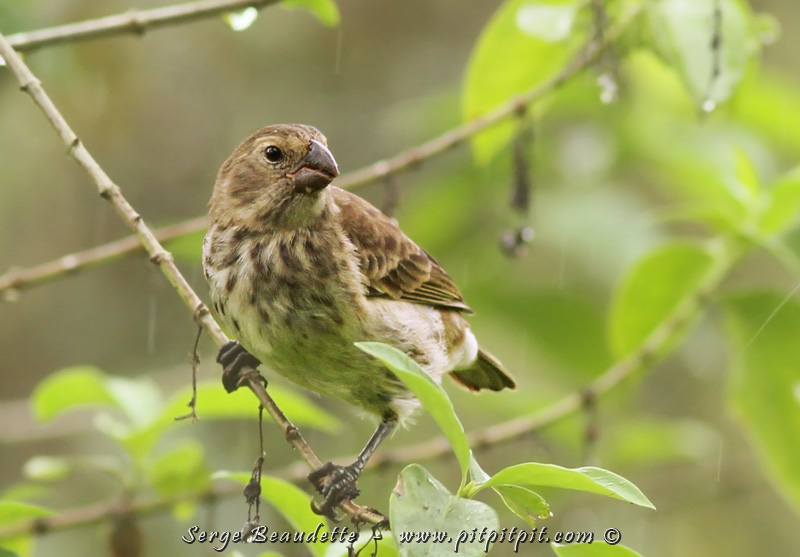 """Dans les """"Tree-Finch"""" toujours, le """"VEGETARIAN Finch""""! Un gros """"Finch"""" avec un bec haut mais court. 3 observations seulement, dans les hauteurs de Santa Cruz lui aussi, dans les vastes forêts! Bien que tous les Finch mangent des végétaux (plutôt les graines...), celui-ci se spécialise dans la consommation des feuilles! Oui, oui! Le limbe des feuilles! ...Et les fruits aussi!"""