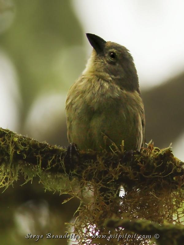"""Enfin, 2 espèces arboricoles qui se ressemblent énormément: une que l'on retrouve dans les hauteurs: le WOODPECKER-Finch (pic-bois) (ICI). C'est lui qui se sert d'outils, comme une épine, pour aller chercher les larves d'insectes dans le bois mort! Et qui a inspiré les travaux de Darwin! Et l'autre espèce, elle fait partie des oiseaux LES PLUS RARES DE TOUTE LA PLANÈTE, avec ses 80 INDIVIDUS AU TOTAL SEULEMENT, c'est le """"MANGROVE-Finch"""". Il niche exclusivement dans 2 grandes forêts de palétuviers (mangrove), qui ne poussent que sur le bord de la mer... Ces endroits sont formellement interdits d'accès!!! Et c'est extrêmement bien surveillé... Toutefois, à quelques kilomètres à vol d'oiseau de ces endroits, nous avons fait une longue balade de panga dans une grande """"mangrove""""... et nous avons entendu et j'ai même pu enregistrer, un MANGROVE FINCH!!!!!!! Bon! Ce n'est pas comme le voir... mais ça donne espoir sur la capacité de cet oiseau d'élargir son territoire et de coloniser ailleurs que sur les 2 sites connus actuellement. D'ailleurs, Nicolas notre guide du parc, en avait vu un, son premier à vie, il y a 6 semaines, dans cette même mangrove!!! Yahou!!!! TOUS LES PINSONS EN UNE SEULE SEMAINE!!!"""