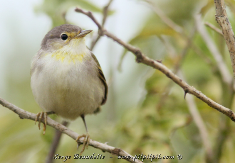 """Il y a 2 petits Finch qui ressemblent à nos parulines... Ce sont les """"WARBLER-finch"""" (""""Warbler"""" étant le nom anglais pour """"parulines"""") ...Il y a donc le GREEN Warbler-Finch (celui-ci), que nous avons vu en assez bonne abondance sur quelques îles..."""
