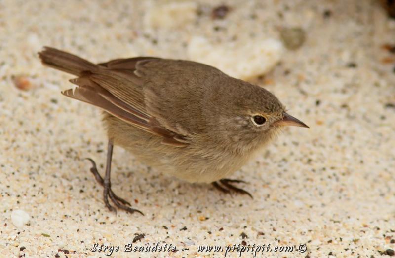 """...Et le 2e Warbler-Finch, est le """"GRAY Warbler-Finch"""", présent exclusivement (eh oui! lui aussi!) sur Genovesa! Nous en avons vu une dizaine peut-être! Un oiseau qui a beaucoup de personnalité!"""