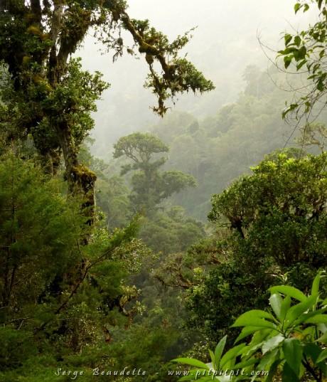 Forêt nuageuse d'altitude