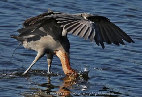 L'Aigrette roussâtre exécute sa danse toutes ailes déployées, pour éviter de trahir sa forme de prédateur... et surtout pour couper le reflet du ciel et mieux voir sous la surface! D'une incroyable rapidité, elle réussit souvent ses captures!