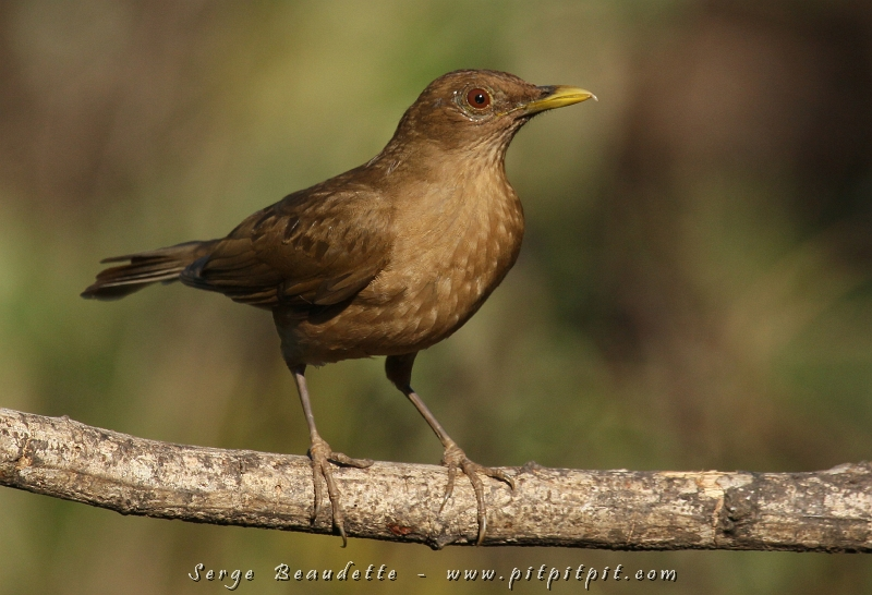 Costa rica f vrier 2013 4 for Oiseau commun
