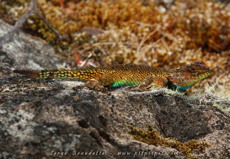"""...Le magnifique """"Green spiny Lezard"""" qui est plus arc-en-ciel que """"green"""" voulait aussi être dans la phot! C'est un petit animal splendide!!!"""
