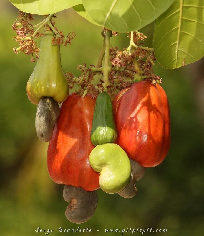 Costa rica mars 2013 9 - Fruit qui pousse sur un palmier ...