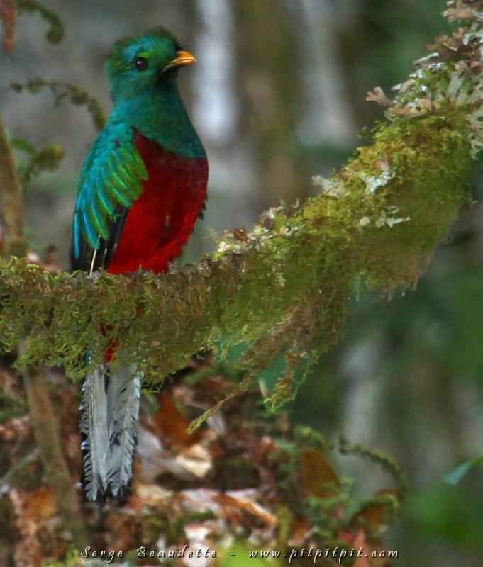 Quelques participants, hier soir, ont trouvé un nid de Quetzal resplendissant 'a 5 minutes de marche de nos cabines... Notre dernier déjeuner ici étant à 7h, je suis allé contempler la scène en solitaire à partir de 6h! (Je n'en ai jamais assez!!!) Le mâle et la femelle s'alternaient pour creuser 3 cavités! Laquelle choisiront-ils? Remarquez que ce mâle n'a pas les longues plumes au dessus de sa queue... c'est le même mâle que nous avions vu dans l'édition de décembre passé!!!