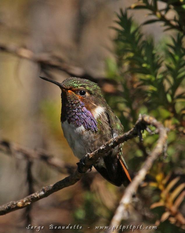 Je n'étais jamais arrivé avant aujourd'hui à photographier le mâle Colibri flammule!!! Ici, il a la gorge violette alors que sur deux autres chaînes de volcans, les mâles de la même espèces ont deux couleurs de gorges différentes!!! Autre espèce de très haute altitude!