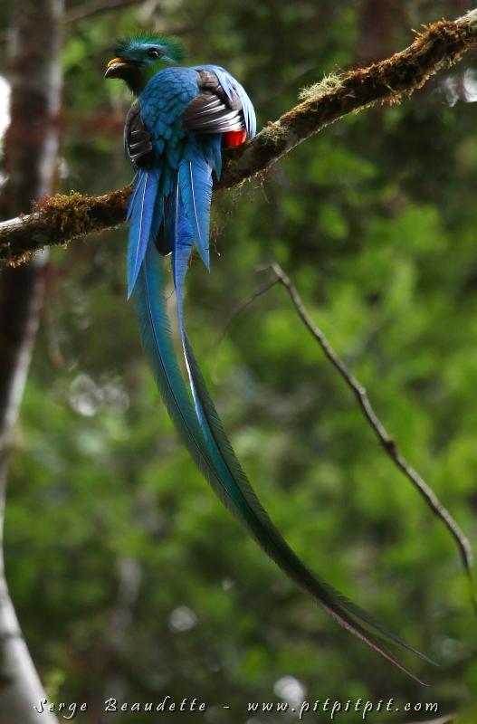 Avant d'aller se poser sur le nid, il est arrêté sur une branche, montrant sa longue queue féerique!