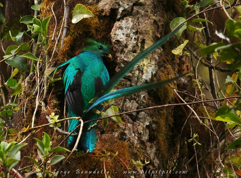 ...Au paradis du Quetzal, je ne pouvais pas ne pas aller le voir au nid... une dernière fois... Cette photo ressemble à une déjà envoyée mais c'est une scène dont je ne me tanne jamais: le Quetzal mâle qui arrive au nid!