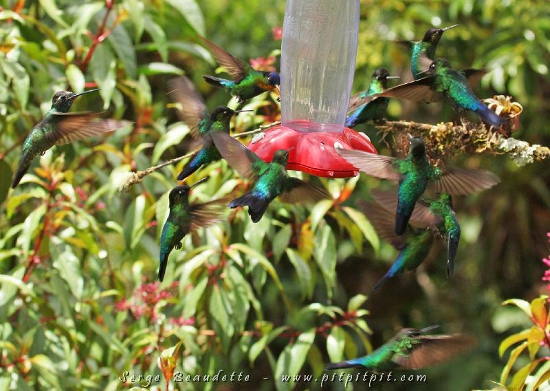 """Nous sommes ensuite retourné passer quelques heures au """"Paraiso del Quetzal"""", la forêt aux arbres millénaires! Ici, il y a toujours BEAUCOUP de colibris mais en 12 visites, aujourd'hui, il y avait au moins 2 fois plus de colibris que la fois où j'en ai vu le plus!!!!!! C'étai COMPLÈTEMENT FOU!!! J'ai même fait un petit film pour vous montrer cette folie! À écouter ci-bas ou sur: http://www.youtube.com/watch?v=XpYMKGUGAXw"""