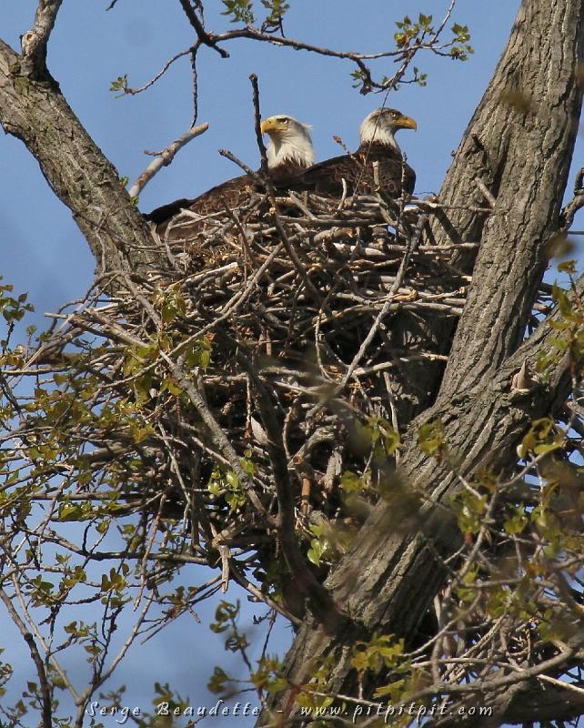 Le Pygargue à tête blanche a même fait son nid directement dans le stationnement dont une partie a été fermé pour la cause!