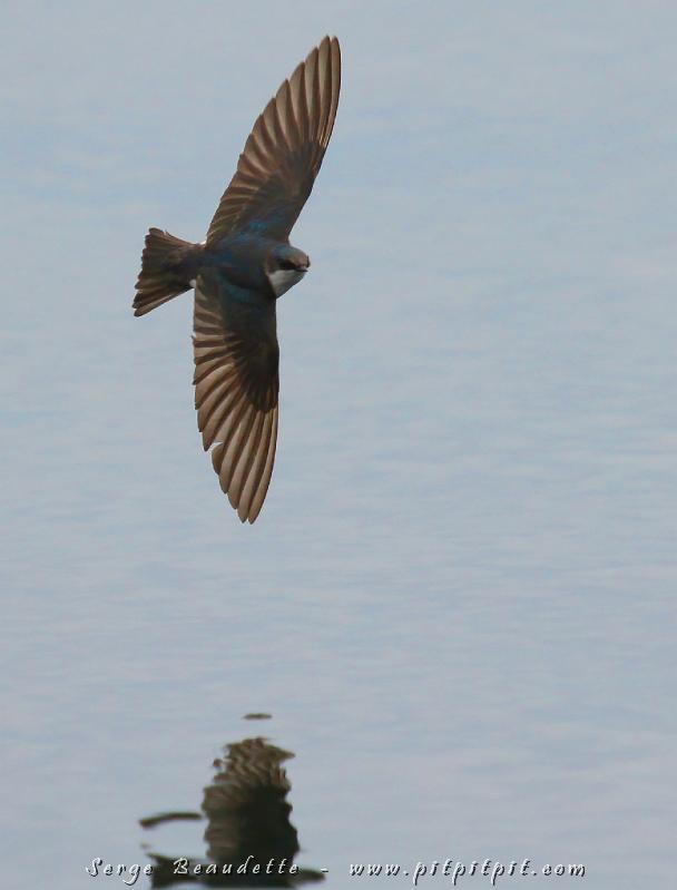 Véritable avion de chasse, ce chef-d'oeuvre de la nature qu'est l'Hirondelle bicolore ne cesse de m'épater par son vol rapide, ses changements subits de direction, pourchassant les insectes si près de la surface de l'eau, en totale maîtrise de ses manoeuvres! Quel génie!!!!