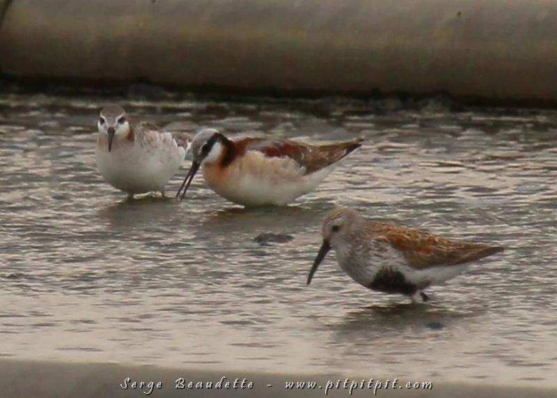Plus loin dans les bassins, 4 surprises nous attendaient: 4 Phalaroppes de Wilson!!! ...Des oiseaux que nous avons rarement la chance de contempler, qui nichent très haut, dans le nord du Québec et dont la femelle est plus colorée que le mâle (ce qui est le cas chez seulement 2% des oiseaux de la planète!). Chez eux, c'est la femelle qui danse pour séduire le mâle... et c'est lui qui fabrique le nid, qui couve et qui s'occupe de la progéniture pendant que la femelle court séduire un autre mâle! Cette façon de faire permet d'avoir 3 nichées par femelle dans un printemps qui ne dure que quelques semaines dans le nord! Stratégie très efficace de reproduction! La femelle restera avec le dernier mâle pour l'aider à rendre la dernière nichée plus à risque de ne pas maturer assez vite à se rendre à terme!!! (Femelle à gauche et mâle au centre)