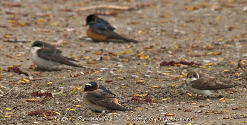 4 des 5 espèces d'Hirondelles ensemble!!!!!! Tout un exploit! Pouvez-vous les nommer? Du à la température vraiment pas évidente (vents très violents), les oiseaux se tiennent à l'abri, le plus bas possible quand ce n'est pas carrément au sol... Ce qui ne nous empêchera pas d'observer près de 90 espèces durant toute la journée... dont un Bruant à face noire vu et photographié par quelques personnes du groupe!!! (Moi, je l'ai manqué!) ...C'est un oiseau de l'extrême sud des États-Unis égaré!