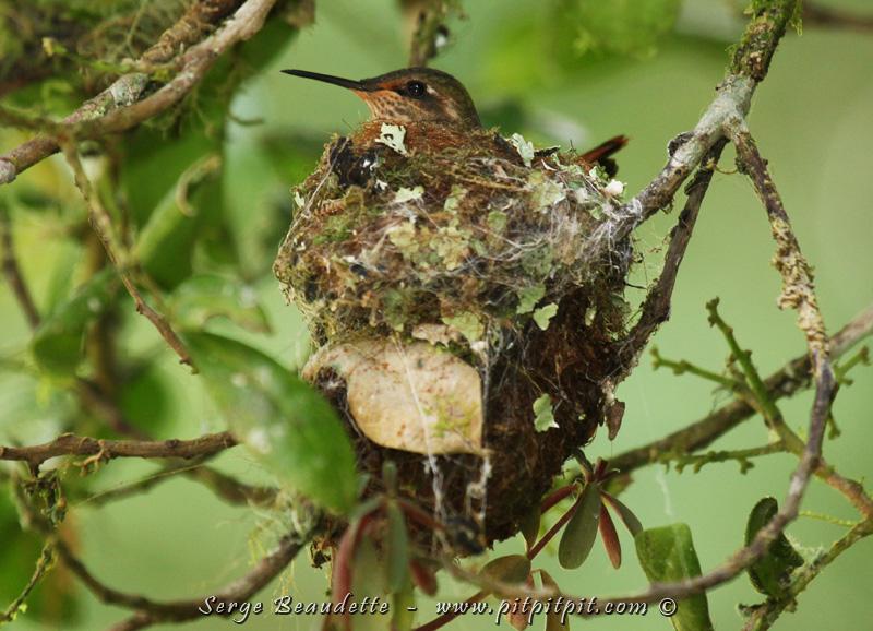 J'ai trouvé un magnifique minuscule nid du Colibri scintillant, le plus petit colibri du Costa Rica! La femelle l'aménage avec de la mousse... Toute une chance!