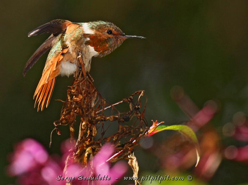 ...Tout près, le mâle du Colibri scintillant fait le guet!!! ...et à un moment, il se nettoie longuement, pour notre plaisir et émerveillement! Il est SI petit!!!
