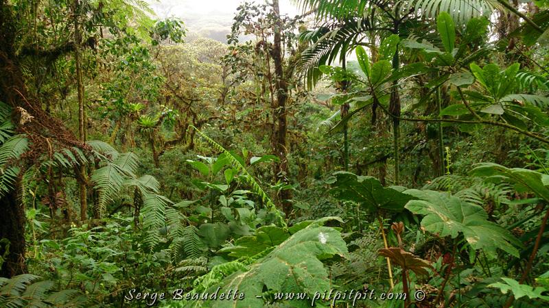 Aujourd'hui, après la visite du site des grallaires, nous arrivons en forêt nuageuse!!! C'est le paradis du Quetzal doré, du Toucan bleu (appelé Toucan montagnard), et de rondes extraordinaires!!! (je vous expliquerai ce que sont les rondes…)