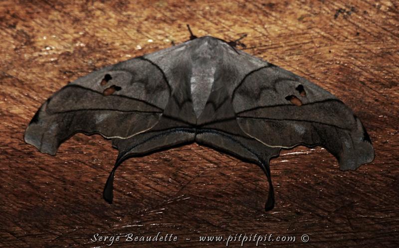 Amazonie page 2 - Que mange les papillons de nuit ...
