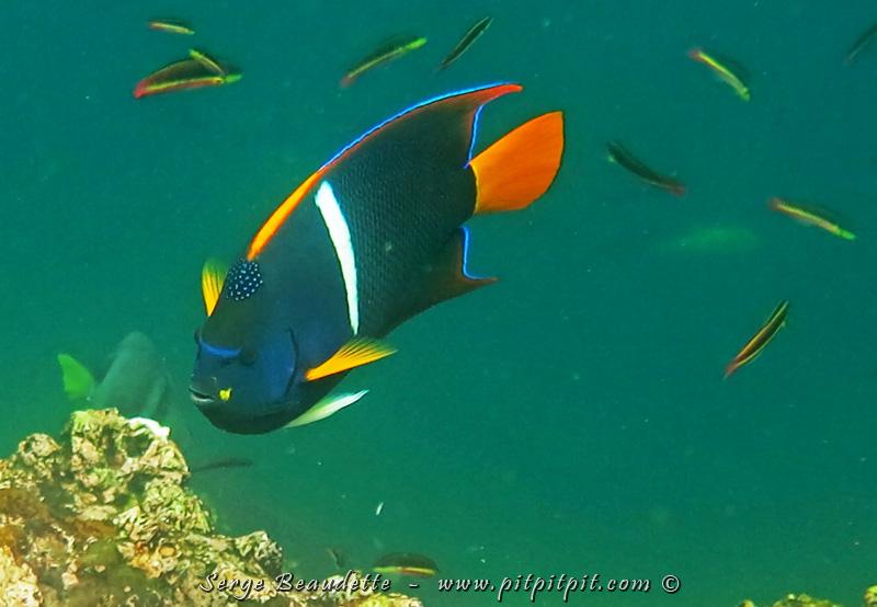 Ce poisson était présent à toutes nos sorties en apnée!!! Il est juste FABULEUX!!!