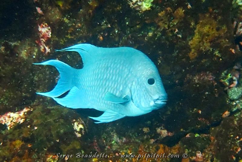 Un poisson qui a l'air d'un ange...