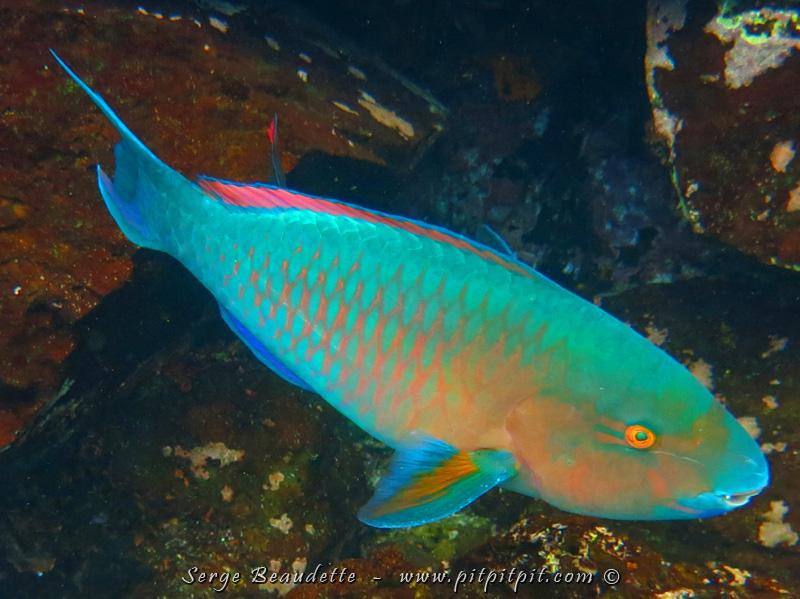 Le coup de coeur de plusieurs est cet énorme poisson aux couleurs irréelles! Présent à chaque apnée aussi, on le voit de loin et l'intensité de ses couleurs presque luminescentes changent durant ses déplacements!!! VRAIMENT EXCEPTIONNEL!!!