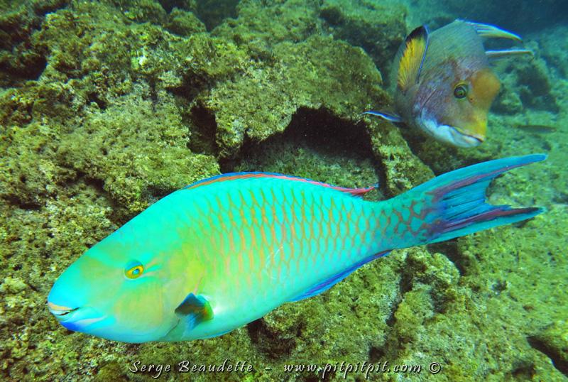 ...Même chose pour cet énorme poisson dont j'ai beaucoup parlé précédemment et dont je ne reviens encore pas de sa couleur...