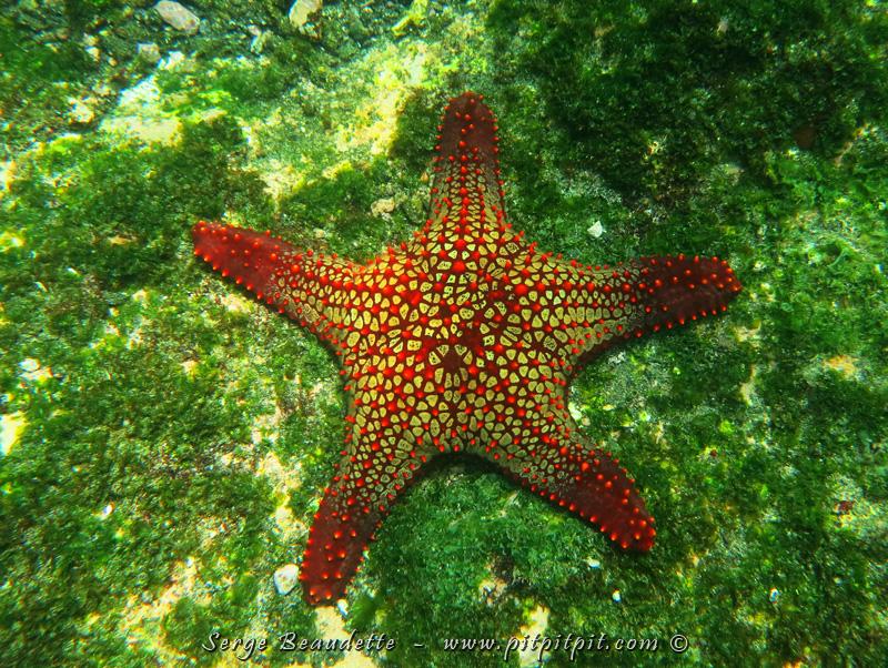 ...Et parmi les magnifiques créatures que nous avons vu sous l'eau... plusieurs étoiles de mer!!! En voici une énorme avec une couleur impressionnante!!! Un chef-d'oeuvre de la nature!