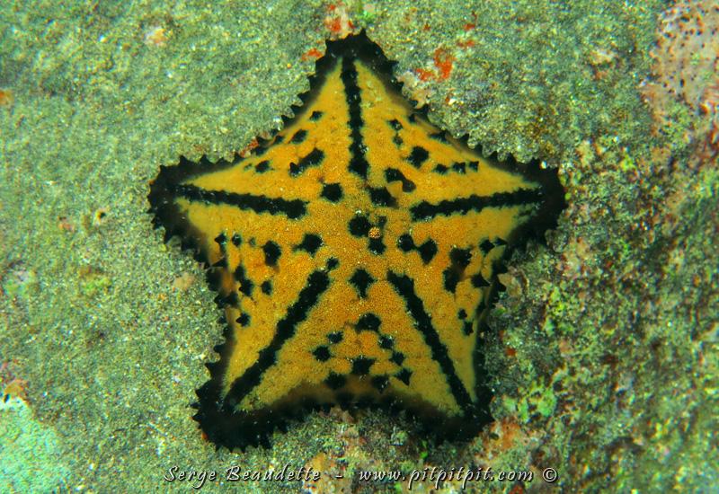 """Une avec une forme TRÈS différente... nommée la """"Chocolate chip Sea Star""""!!! Magnifique et commune!!!"""