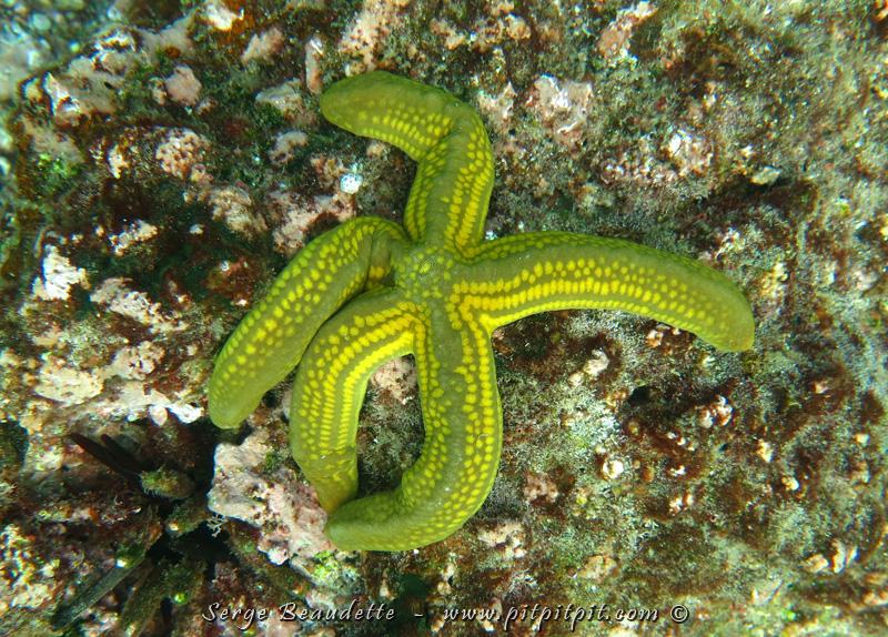 Moins commune et plus étrange, celle-ci, qui ressemble un peu à une organisation de concombres de mer!