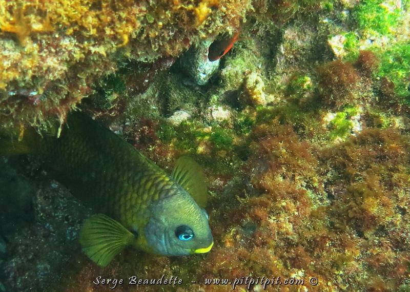 """Un poisson avec du """"jaune-à-lèvres""""!!!"""
