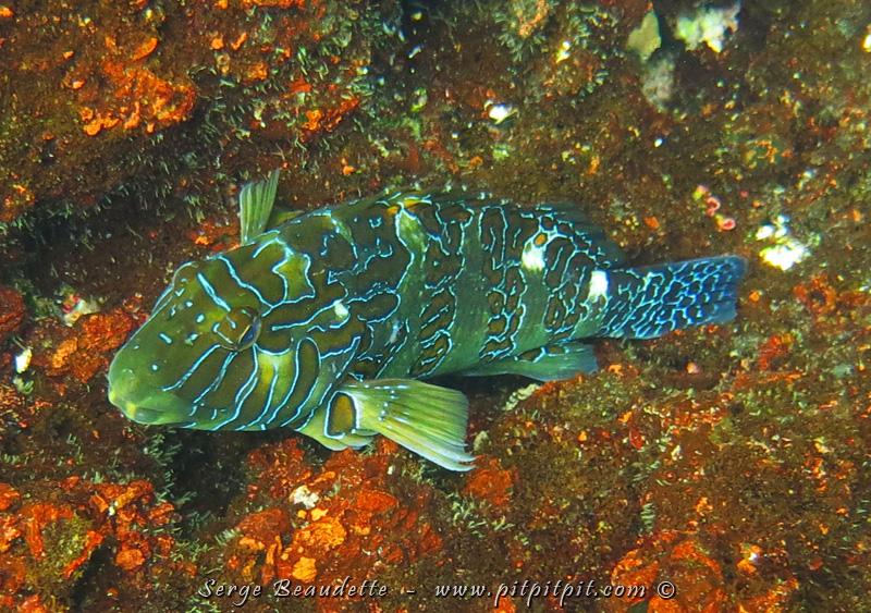 Ce gros poisson s'est montré souvent aussi! M-A-G-N-I-F-I-Q-U-E !!!! Motif et jeu de couleurs très original!!!