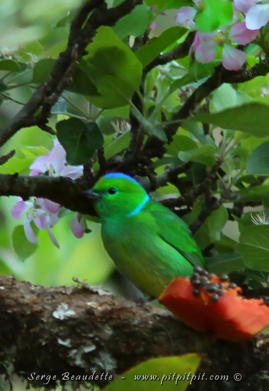 ...L'espèce vedette que nous sommes venu voir est l'ORGANISTE À SOURCILS JAUNES... Un oiseau vert éclatant, avec le dessus de la tête et une nuque bleu céleste et le mâle à un sourcil jaune et le dessous du ventre jaune!!! Aux premières lueurs du jour, une femelle est déjà là!!! ...Contrairement à l'abondance du mois dernier (avec une vingtaine d'individus), ce sera la seule à se montrer! Mais dans ces conditions, c'est une aubaine!!! Moi qui n'avait vu cet oiseaux hyper spécial et rare que 2 fois auparavant!