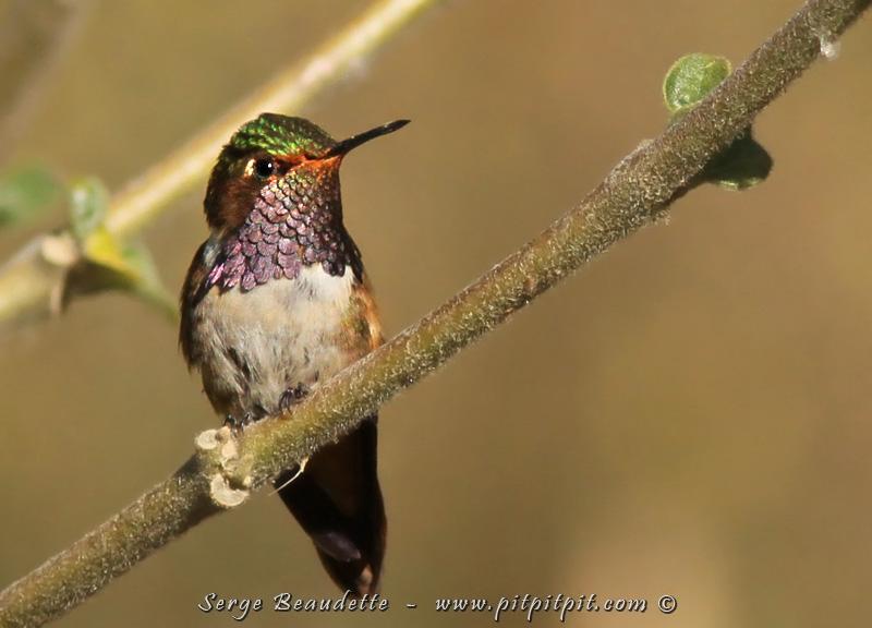 Et une spécialité des très hautes altitudes, et le plus petit colibri que j'ai vu jusqu'à aujourd'hui: le Colibri flammule, avec sa gorge bleu-mauve métallique qui descend en pointes surélevées chaque côté de sa poitrine!!!!!!! Une grande beauté!!!