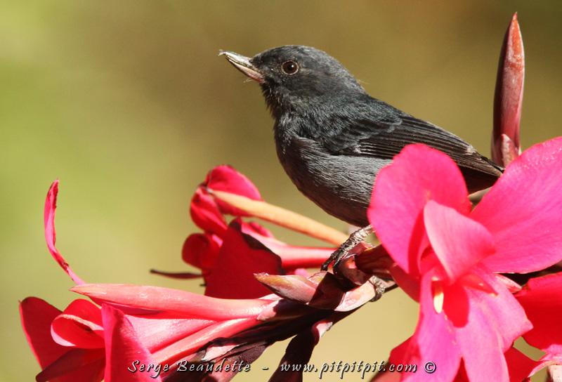 ...Et nous verrons notre tout premier Perce-fleurs ardoisé!!! Un oiseau qui boit le nectar des fleurs comme les Colibris... mais qui, au lieu de voler sur place et d'entrer dans les fleurs, il perce plutôt, avec son petit bec crochu à son extrémité, la corolle des fleurs comme raccourcis pour avoir accès au nectar bien assis sur la tige!!! Futé n'est-ce pas?!