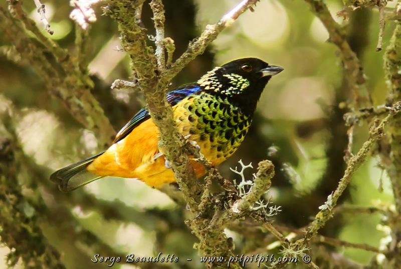 """Ayant vu l'espèce souvent, je ne me laisse pas distraire... à la """"tâche"""" de surveiller le """"nid"""" de Quetzal, plutôt """"TROP"""" tranquille... depuis """"trop"""" longtemps... À l'occasion, je regarde les différents mouvements dans les environs et je réussis pour une 2e fois à vie, dans le même voyage, à prendre une belle photo du Calliste pailleté! J'adooore cet oiseau!!!"""