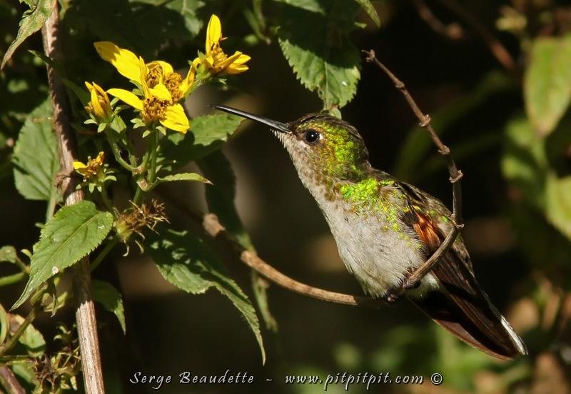 """Nous sommes au moins 4 groupes à chercher le Quetzal... à se partager les """"spots"""", les informations, à échanger nos numéros de cellulaire... Mais jusqu'à l'heure du diner... RIEN! ...En fait, pas """"rien"""" mais pas de Quetzal... Parce qu'au passage, nous avons beaucoup de chances avec tous les autres oiseaux de plusieurs espèces, comme ce magnifique et assez rarissime Colibri à épaulettes!!!"""