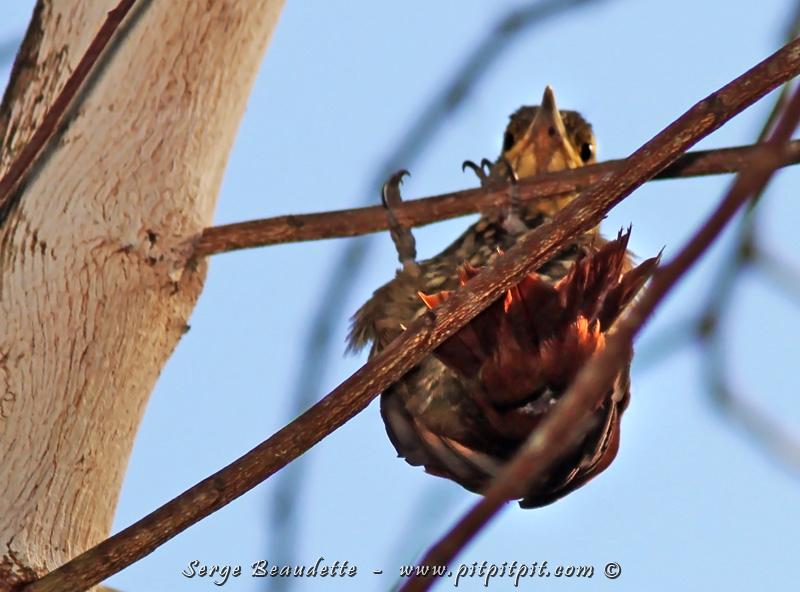 Nous reconnaissons que c'est un bébé par sa queue plus courte, les commissures de son bec sans plume... et surtout par un comportement très maladroit... comme cette chute qui s'est terminée sur des branches très fines... et le grimpar qui se tient habituellement sur le tronc d'un arbre, est suspendu un long moment, l'air un peu ébêté... ne sachant visiblement pas comment sortir de cette étrange posture...