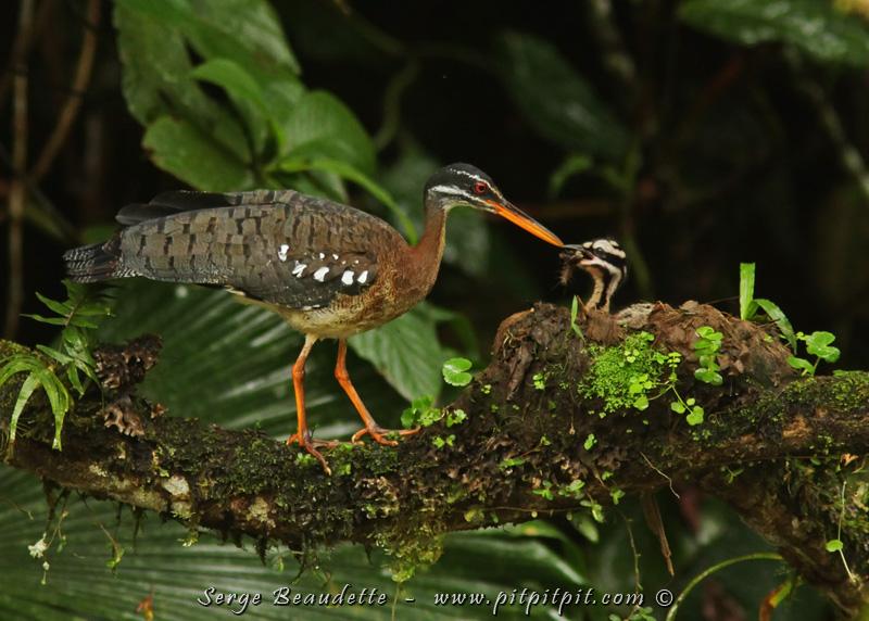 J'ai même trouvé un nid... une première pour notre guide Costaricien qui a vu toutes les espèces du pays maintes fois!!!