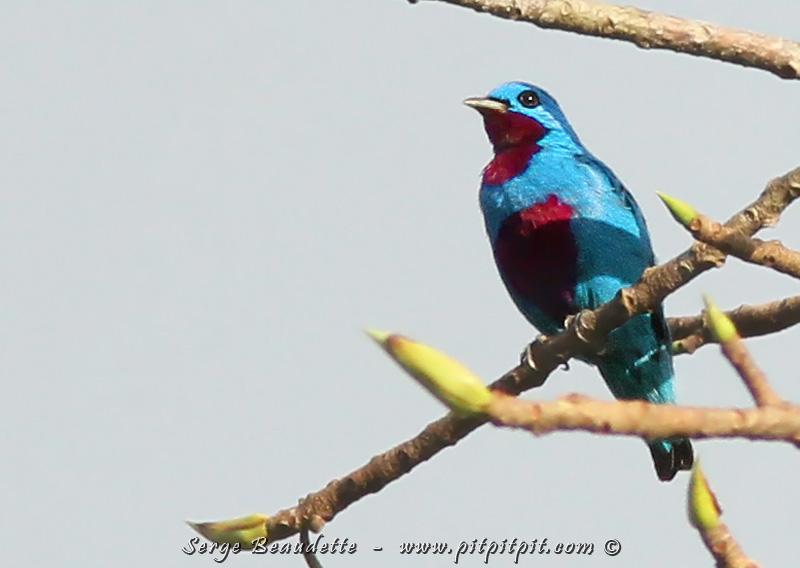 Et le clou? Ce splendide oiseau directement descendu du ciel, aux couleurs irréelles, extrêmement recherché... le Cotinga céleste!!!