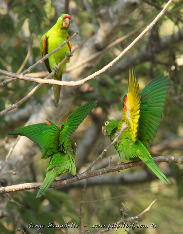 Nous avons quitté la jungle et nous remontons la côte Pacifique vers le climat aussi chaud mais BEAUCOUP plus sec du Nord! ...Un arrêt improvisé sur la route nous donnera 30 espèces!!! ...Dont ces magnifiques Conures de Finch, un perroquet semi-endémique!