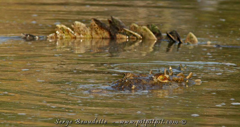 Nous commençons la MAGNIFIQUE et tant attendue balade en bateau dans la mangrove du Rio Tarcoles, là où nous attendent toute une variété d'oiseaux d'eau... et les plus gros Crocodiles d'Amérique centrale, absolument pas dangereux et plutôt fascinants à voir!
