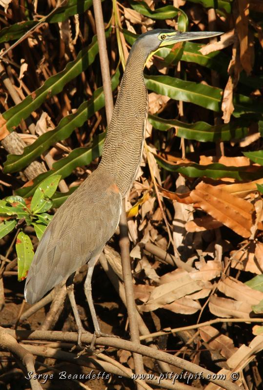 L'Honoré du Mexique, avec son plumage tigré extrêmement camouflage...!