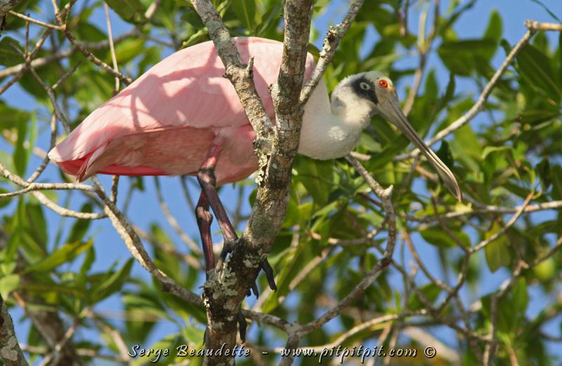 D'autres oiseaux d'eau, moins spécialisées à la mangrove: la surprenante Spatule rosée!!! ...Avec son bec étrange et son beau plumage rose!